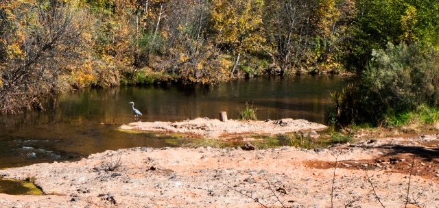 heron in the creek