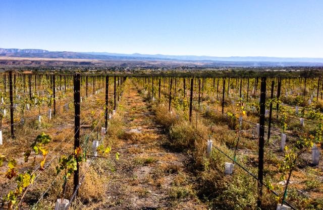 inside Yavapai vineyard